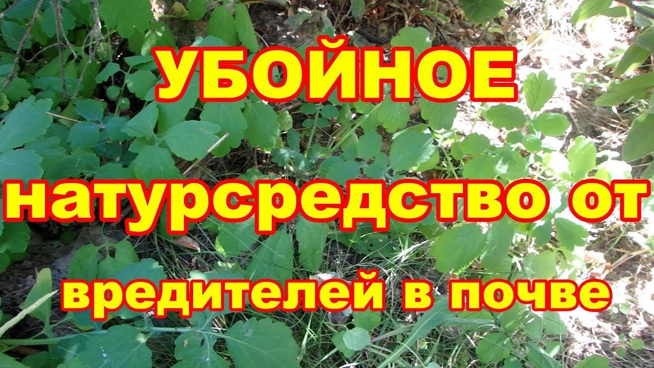 Это растение прогонит нематод, проволочника и возможно луковую муху.