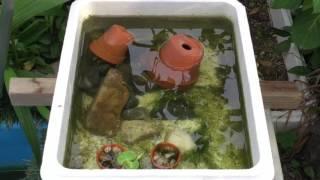 苔玉作りに挑戦 ビオトープ植物に挑戦.