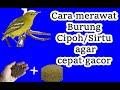 Tips Perawatan Burung Sirtu Agar Cepat Gacor  Mp3 - Mp4 Download