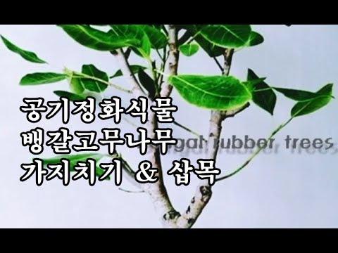 (뱅갈고무나무키우기) 뱅갈고무나무의 삽목