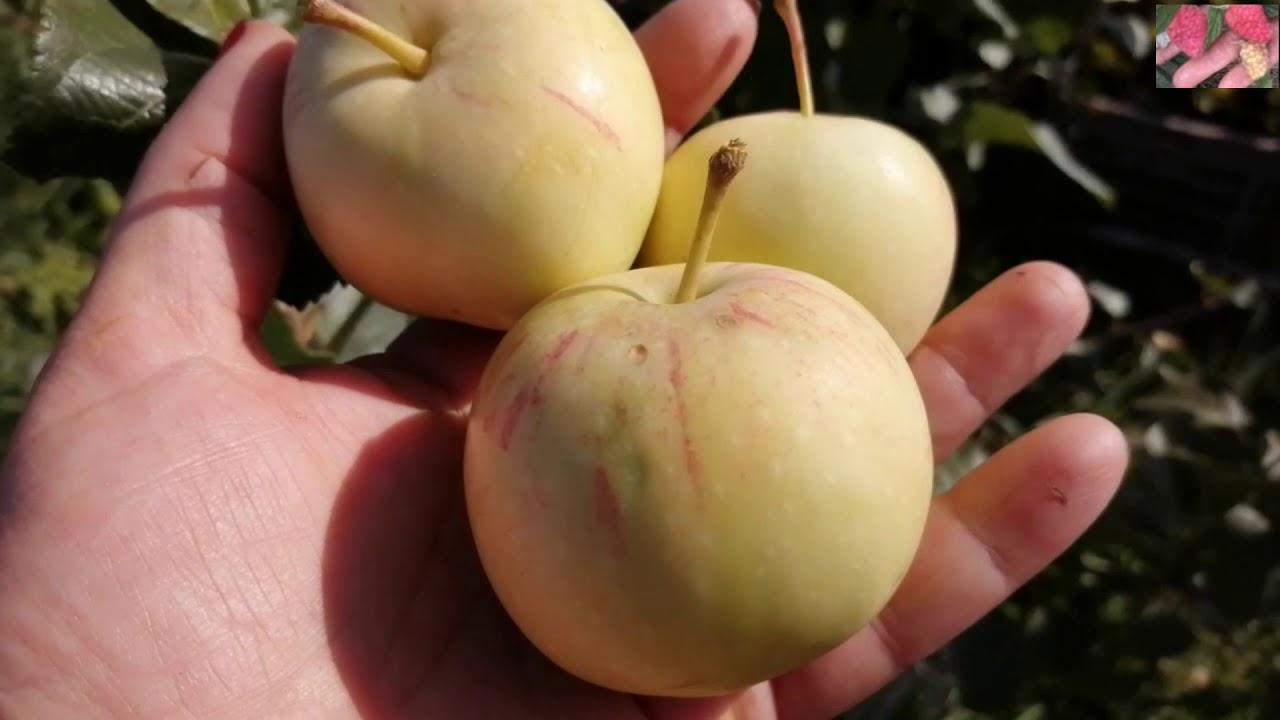 Сорт яблони Абориген. Зимостойкие яблони.