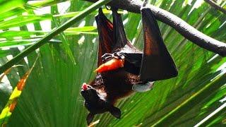 How Flying Fox (Fruit Bat) pee. Cómo hacer pipí El gran zorro volador. 如何撒尿狐蝠屬.