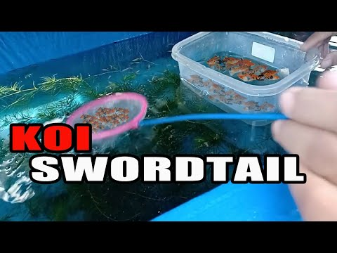 SUSTAINABLE PRODUCTION In Breeding Live-bearer Ornamental Fish, Update To My KOI SWORDTAIL