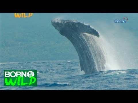 Born to Be Wild: Filming the Humpback Whales in Babuyan Island