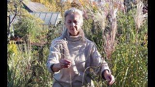 Мискантусы - декоративные злаки для сада