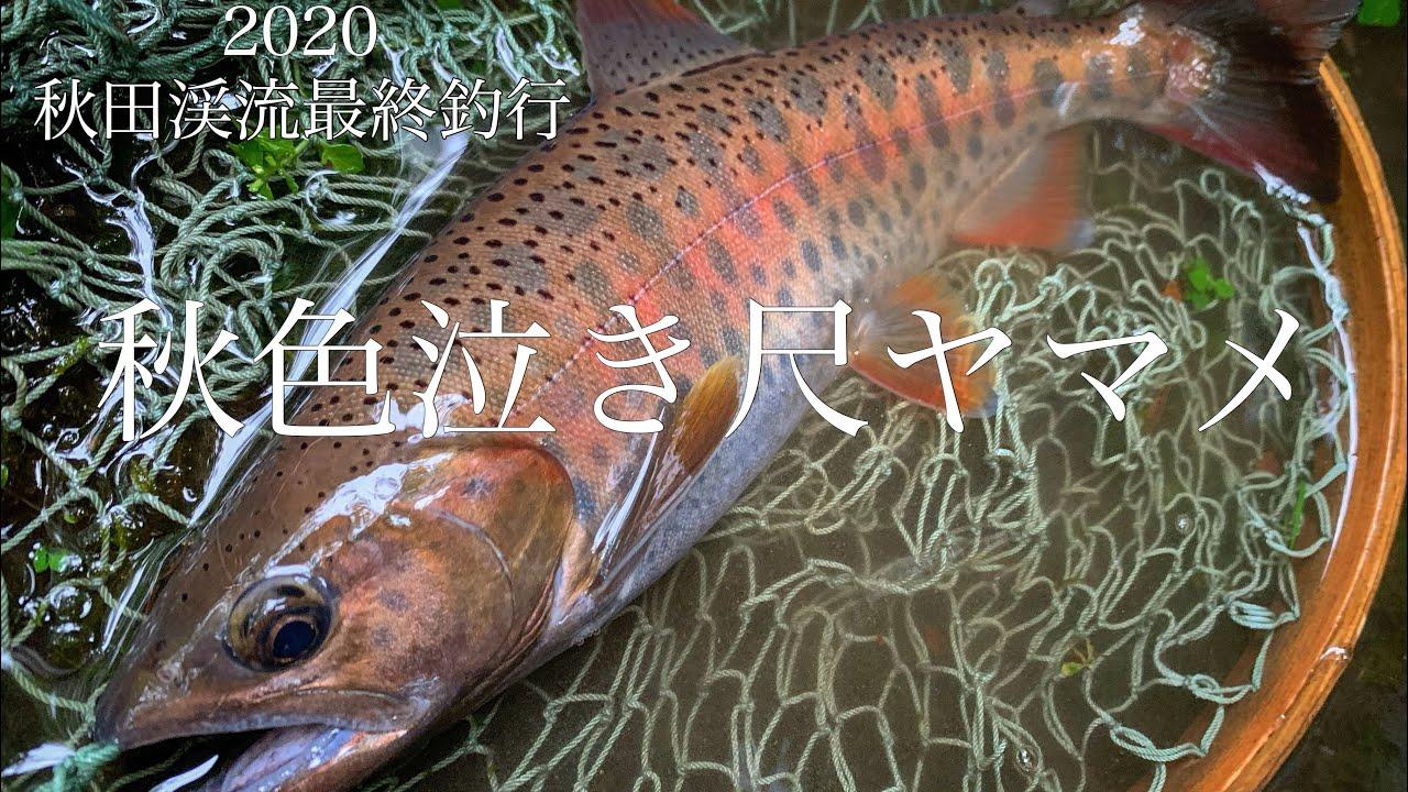 【渓流ルアー】秋のヤマメはやばい。2020最終釣行