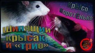 Шипящий крыс, и