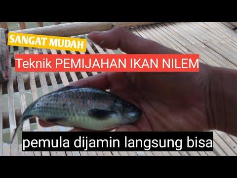 Cara memijahkan ikan nilem/melem II simple , work sampai ke kolam sebar pembesaran !!!