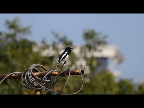 Oriental Magpie-Robin singing in Puducherry, India