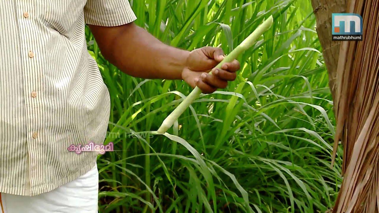 Shaji Kumar's Fodder Farm - Krishibhumi | Fodder Cultivation(തീറ്റപുൽ  കൃഷി)