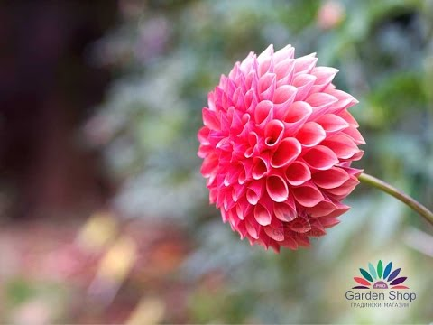 Pompon Dahlie - Blumen als Geschenk zum Valentinstag (Dahlia Mignon ...