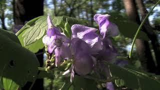 ヤマトリカブト/Aconitum japonicum Thunb 10_171004森林公園