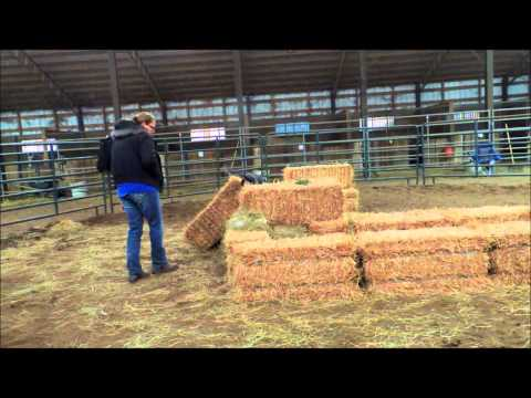 Barn hunt with an Australian cattle dog