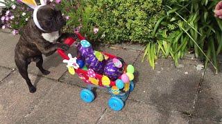French Bulldog Does Easter Deliveries    ViralHog