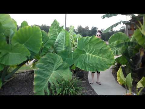 Colocasia Gigantea Thialand Giant (Tropical Plant)