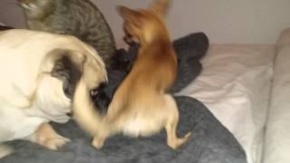 Pug, Chihuahua And Kitten Playing Together
