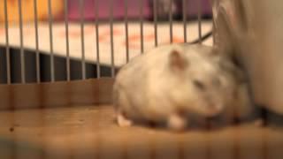 Hamster sex and orgasm. Part 2 / Секс и оргазм хомяка. Часть 2