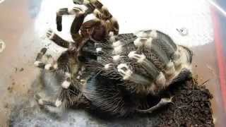 Линька паука (acanthoscurria geniculata) L9