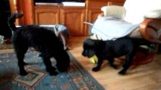 Labrador Puppy Attacks