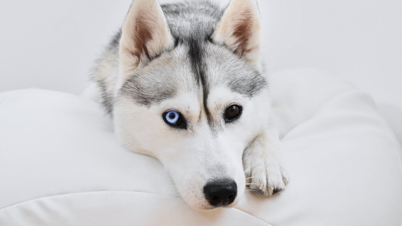 🔴 Come Hang Out With My Husky! (LIVE)