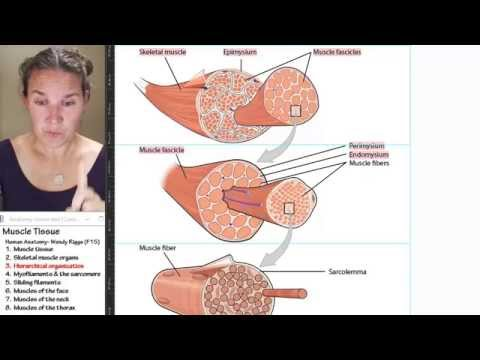 Muscle 3- Hierarchical organization