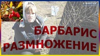 видео Барбарис