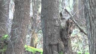 Polowanie zbiorowe na dziki - praca łajki zachodniosyberyjskiej