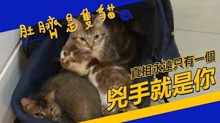◖肚臍是隻貓◗ 直擊案發現場!兇手到底是誰? ♬