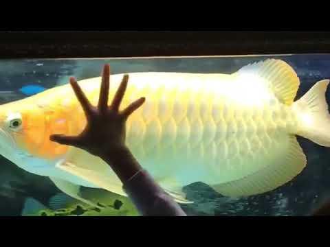 Giant Arowana - YouTube |Giant Arowana