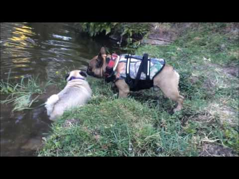 Pug and french bulldog playing in the river, fun