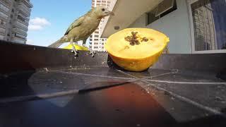 Sanhaço comendo mamão - Bird Thraupis Palmarum