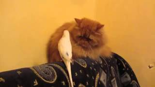Ржачное видео про кошку и попугая