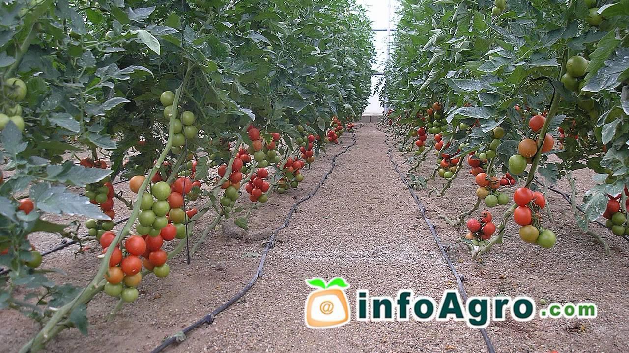 Sembrar Tomates Cherry Tomates Necesitan Mucho Sol En Mesas De  ~ Como Cultivar Tomates En El Huerto