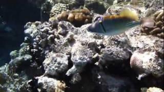 Arabian Picassofish (00160.MTS) Arabian Picassofish (00160.MTS), egypt, far garden, sharm el sheikh, may. 2011, panasonic dmc-FT3, primozp, underwater, freediving, apnea