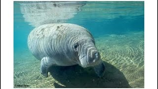 Meet the Manatee Slideshow