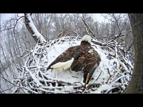 Hanover, PA Eagles - 3 squirrels tempt fate - 03-20-15