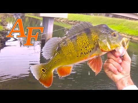 Catching Exotic Fish Species in Miami canal at C100 Ft Lets Go Fish South FloridaEP.378