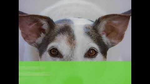 Koirarodun valinta