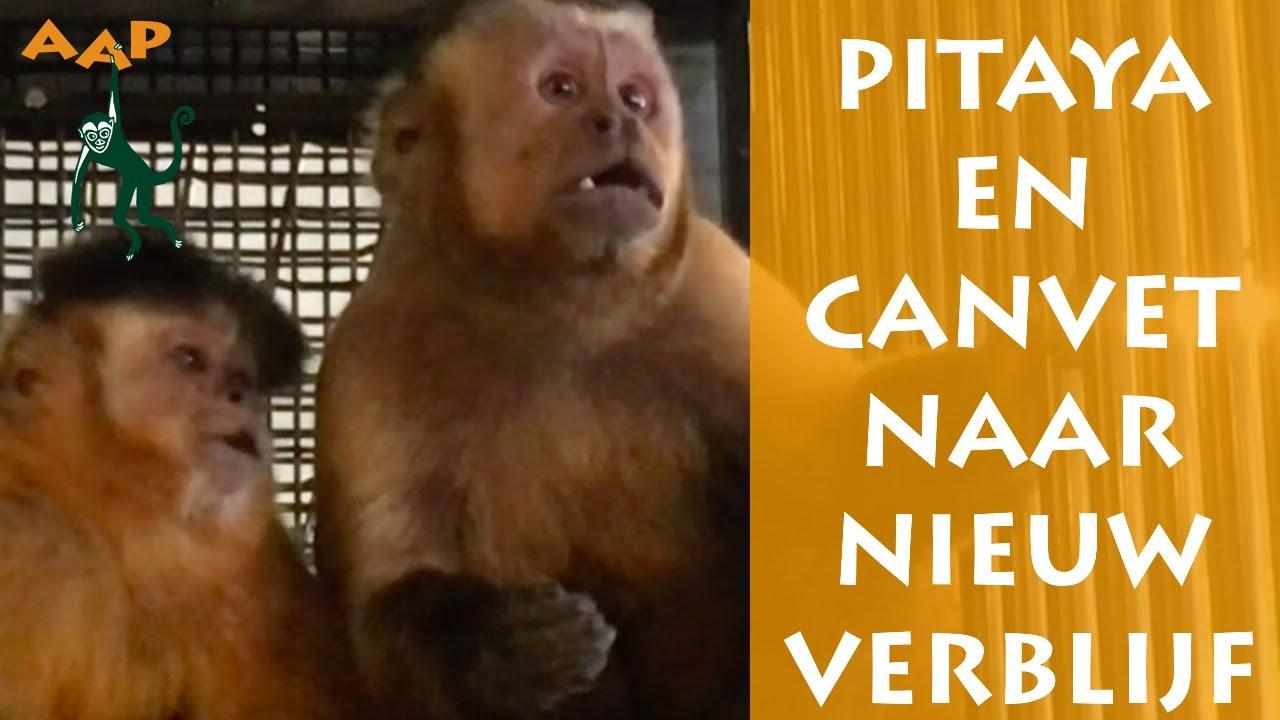 Kapucijnaapjes Pitaya en Canvet naar Primatenafdeling - Stichting AAP