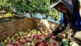 Pizca de manzana (gala) en USA.