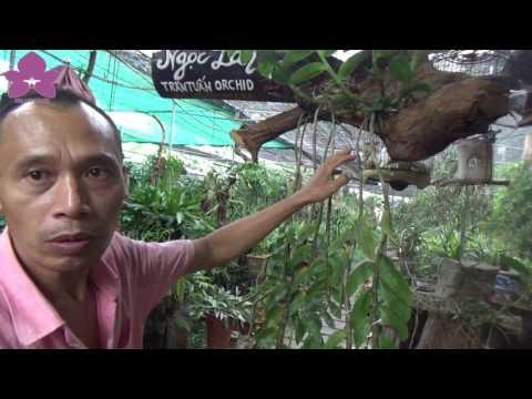 Hoa Lan TV : Phi Điệp 'Khủng Long' Cực Hiếm Có Khó Tìm Vườn Vua Lan Trần Tuấn