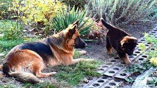 Длинношерстные немецкие овчарки Аманда и Стелла - мама и дочка. Long-haired German shepherds.