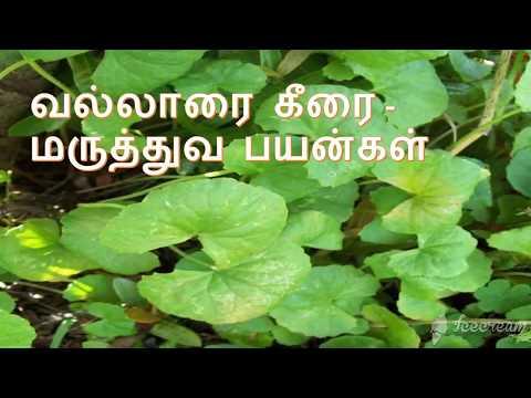வல்லாரை கீரை – மருத்துவ பயன்கள் || Vallarai keerai sambar in tamil | how to clean vallarai keerai