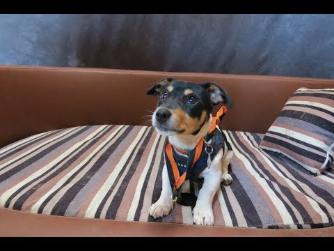 Iris - Jack Russel Terrier Puppy - 3 Weeks Residential Dog Training