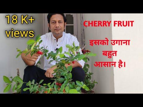 how to grow cherry tree। चेरी उगाए आसानी से।cherry plant