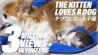 子猫(おはぎ)がチワワ(ココ♀)のベッドを占拠することもしばしば。い...