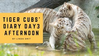 Tiger cubs' diary - Day 3 / Afternoon | Cubs stalking their father Kantaji, cubs playing in the pond