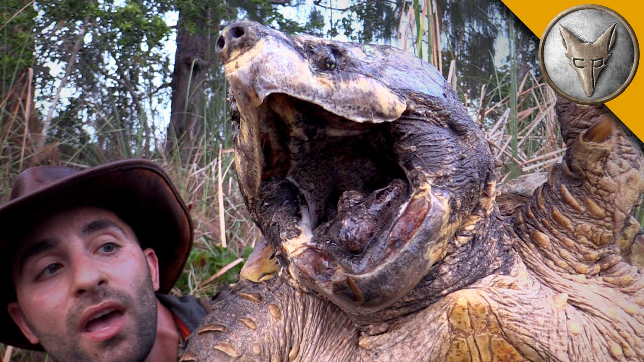 the biggest turtle youve ever seen youtube
