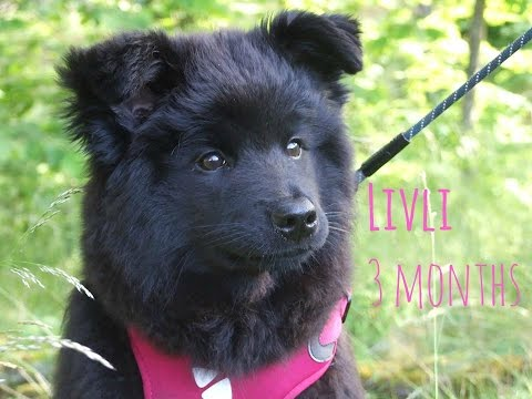 Livli - 3 months old | SWEDISH LAPPHUND PUPPY