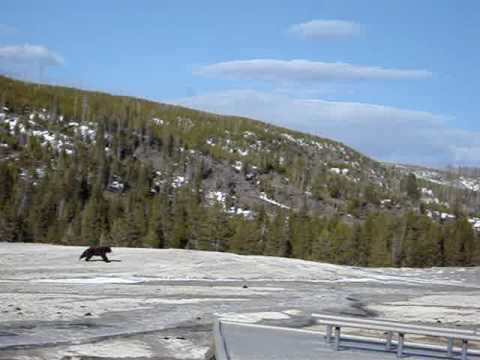 Old Faithful Bear Yellowstone April 20, 2009